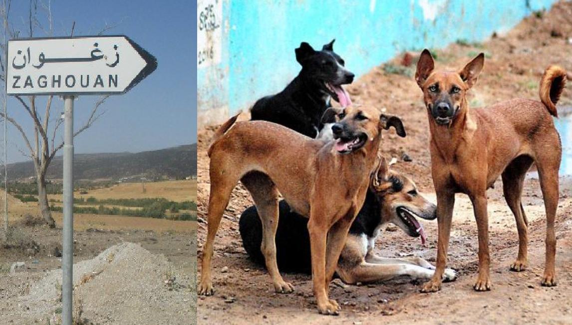 زغوان : حملة للقضاء على الكلاب السائبة بعد اكتشاف 3 إصابات بداء الكلب!