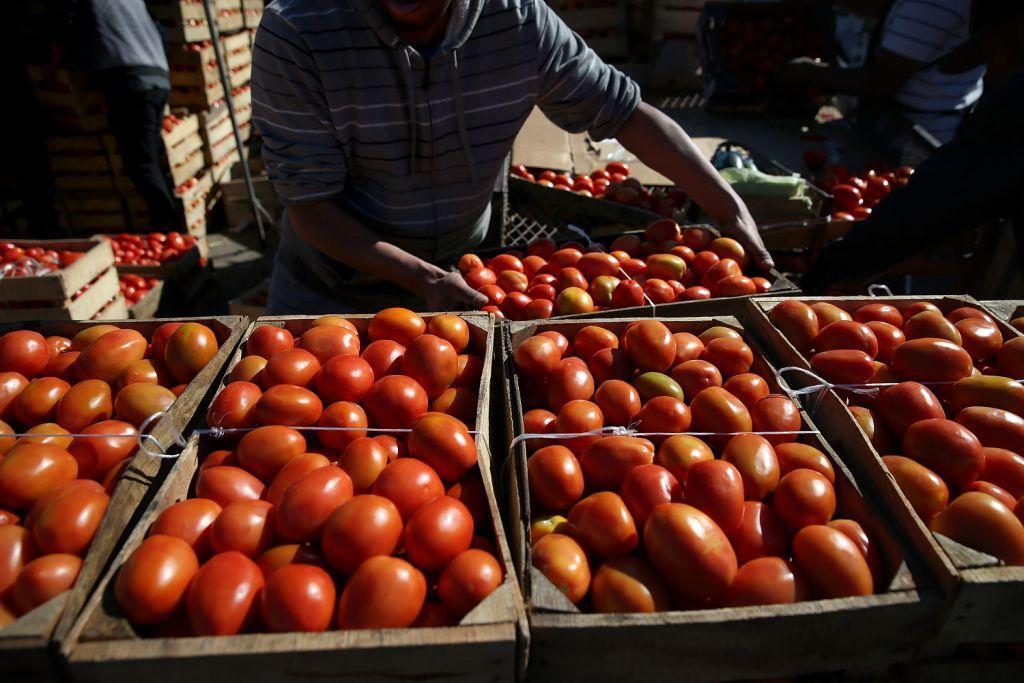 روسيا ترفض مجددا طماطم المغرب بسبب إصابتها بحشرة ضارّة