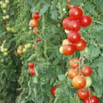 إتفاق بين الأعراف والفلاحين حول الطماطم المُعدّة للتحويل