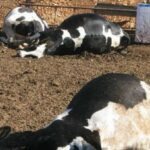 """المهدية: نفوق عدد من الأبقار والمواشي والفلاّحون يتّهمون """"الصوناد"""""""