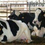 بنزرت: اصابة 3 أبقار بداء الكلب