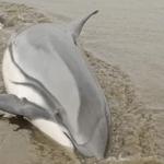 الولايات المتّحدة: مُكافأة بـ11500 دولار لمن يعثر على قاتل أنثى دلفين حامل