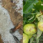 سبيبة: تضرّر المحاصيل الفلاحية بسبب البَرَد (صور)