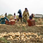 اتحاد الفلاحين: قطاع البطاطا يشهد وضعية حرجة