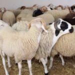 شركة اللحوم تفتح نقطة لبيع الأضاحي بالميزان