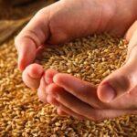 زغوان: حجزأطنان من القمح الفاسد