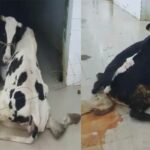 المسلخ البلدي بسوسة: إيقاف شخصين بتهمة ذبح أبقار مريضة