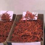 طبرقة: حجز 167 كلغ من المرجان المُهرّب وإيقاف المُتّهم الرئيسي