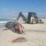 صور/ نابل: نفوق حوت ضخم بشاطئ تاكلسة