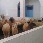 صور/ الروحية: مُواطن يستغلّ مركزا صحيا لتربية الخرفان !
