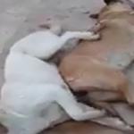 القيروان : منحرفون يسرقون قطيع أغنام بعد تسميم كلاب الحراسة