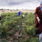 رسمي: أمر يُمكّن المرأة الريفية من التغطية الاجتماعية دون الرجوع للمُشغّل