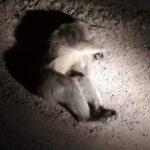 تطاوين : قتل قرد بعد فشل محاولات القبض عليه (فيديو)