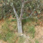 بئر علي بن خليفة: مواطنون يقطعون ليلا أشجار أحد الفلاحين !