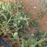 القيروان: البَرَد يُتلِف محاصيل فلاحي 3 عمادات