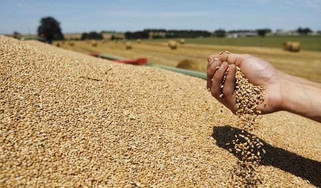 رغم الحرائق: صابة الحبوب تحقق معدلات قياسية
