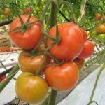 القيروان: فلاحون يحتجون بسبب خسائرهم في محاصيل الطماطم