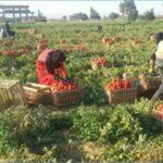 اتحاد الفلاحة يطالب بتسعيرة مرجعية للطماطم الفصلية ويُلوّح بمقاطعة الموسم
