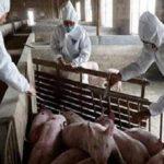 الصين في يوم: ظهور حمى الخنازير الأفريقية وعودة قياسية لإصابات كورونا