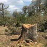 عمرها يفوق 300 سنة: تنديد رسمي بجريمة قطع أشجار نادرة عالميا بجندوبة