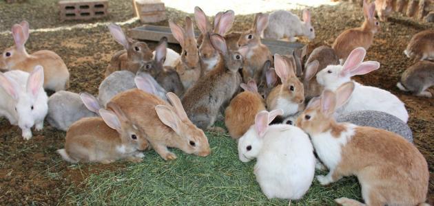 بعد تهاوي جل المنظومات الفلاحية عبد المجيد الزار يهتّم بتربية الأرانب